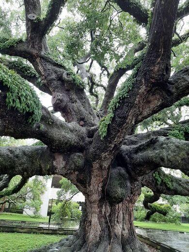 Treaty Oak in Jacksonville